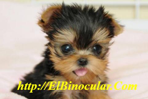 ¿Cómo Cuidar Un Perro De Raza Pequeña Correctamente?