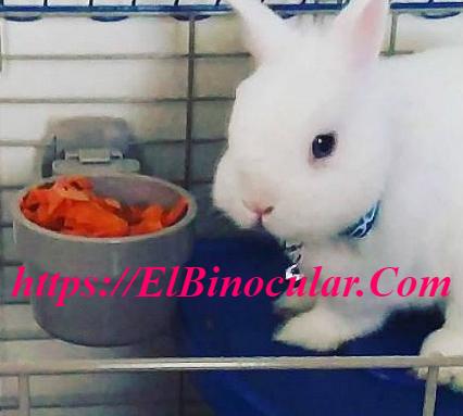 Cómo Cuidar Mi Conejo Toy Angora Pequeño