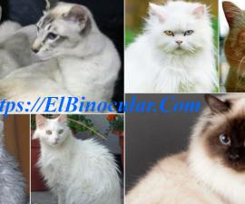 20 Hermosas Razas De Gatos Peludos Que Te Enamoran