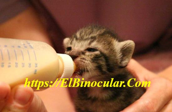 ¿Cómo Cuidar Un Gatito Recién Nacido Sin Madre?